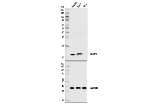 Western blot analysis of extracts from Hep G2, Huh7, and HeLa cell lines using FABP1 (D2A3X) XP<sup>® </sup>Rabbit mAb (upper) and GAPDH (D16H11) XP<sup>®</sup> Rabbit mAb #5174 (lower).