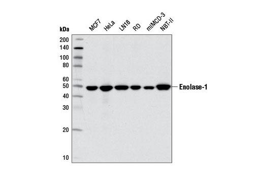 Monoclonal Antibody Western Blotting Phosphopyruvate Hydratase Activity