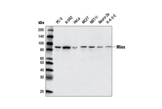 Monoclonal Antibody - Mios (D12C6) Rabbit mAb - Immunoprecipitation, Western Blotting, UniProt ID Q9NXC5, Entrez ID 54468 #13557, Mios