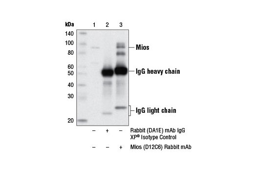 Immunoprecipitation of Mios from MCF7 cell extracts using Rabbit (DA1E) mAb IgG XP<sup>®</sup> Isotype Control #3900 (lane 2) or Mios (D12C6) Rabbit mAb (lane 3). Lane 1 is 10% input. Western blot analysis was performed using Mios (D12C6) Rabbit mAb.