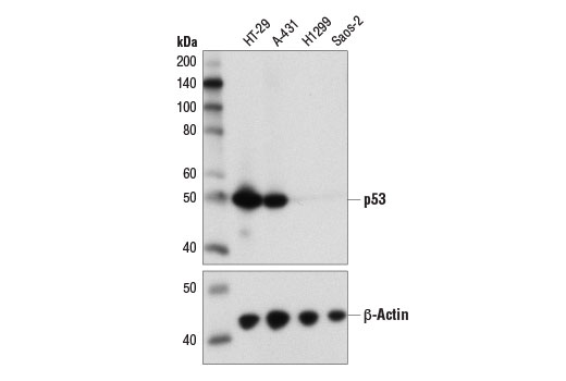 Western blot analysis of extracts from various cell lines using p53 (DO-7) Mouse mAb (upper) and β-Actin (D6A8) Rabbit mAb #8457 (lower).