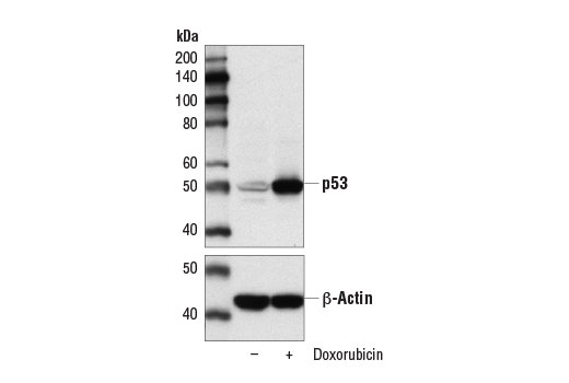 Western blot analysis of extracts from MCF7 cells, untreated (-) or treated with Doxorubicin #5927 (0.5 μM, 24 hr; +), using p53 (DO-7) Mouse mAb (upper) and β-Actin (D6A8) Rabbit mAb #8457 (lower).