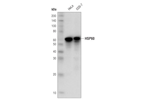 Western blot analysis of of extracts from HeLa and COS-7 cell lines using HSP60 (D6F1) XP<sup>®</sup> Rabbit mAb (HRP Conjugate).