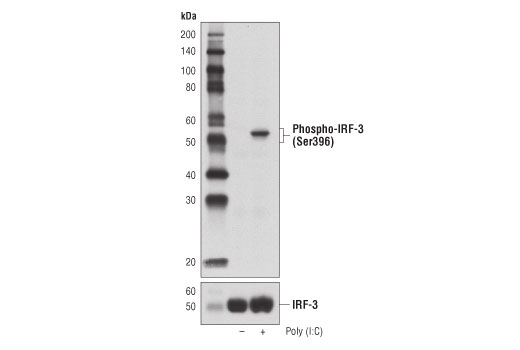Western blot analysis of HT-29 cells, untransfected (-) or transfected with Poly (I:C) (2.5 μg/ml, 6 hr; +), using Phospho-IRF-3 (Ser396) (D6O1M) Rabbit mAb (upper) or IRF-3 (D6I4C) XP<sup>®</sup> Rabbit mAb #11904 (lower).