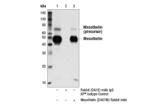 Immunoprecipitation of mesothelin from OVCAR8 cell extracts. Lane 1 is 10% input, lane 2 is Rabbit (DA1E) mAb IgG XP<sup>®</sup> Isotype Control #3900, and lane 3 is Mesothelin (D4X7M) Rabbit mAb. Western blot analysis was performed using Mesothelin (D4X7M) Rabbit mAb. Mouse Anti-rabbit IgG (Conformation Specific) (L27A9) mAb #3678 was used as a secondary antibody.