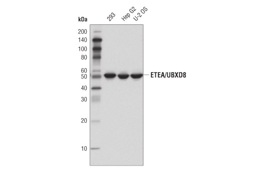 Western blot analysis of extracts from 293, Hep G2, and U-2 OS cells using ETEA/UBXD8 (D8H6D) Rabbit mAb.