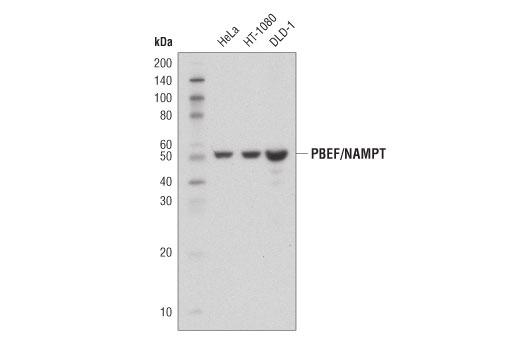 Western blot analysis of extracts from HeLa, HT-1080, and DLD-1 cells using PBEF/NAMPT (D7V5J) Rabbit mAb.