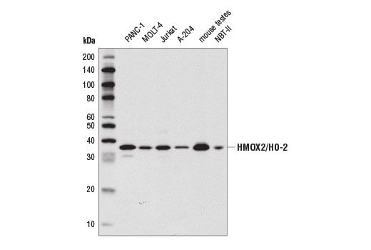 Western blot analysis of extracts from various cell lines and mouse testes using HMOX2/HO-2 (D9J9U) Rabbit mAb.