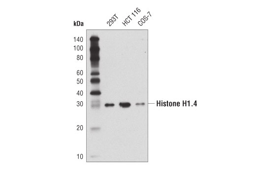 Monoclonal Antibody - Histone H1.4 (D4J5Q) Rabbit mAb - Chromatin IP, Western Blotting, UniProt ID P10412, Entrez ID 3008 #41328 - Primary Antibodies