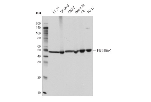 Western blot analysis of extracts from various cell lines using Flotillin-1 (D2V7J) XP<sup>®</sup> Rabbit mAb.
