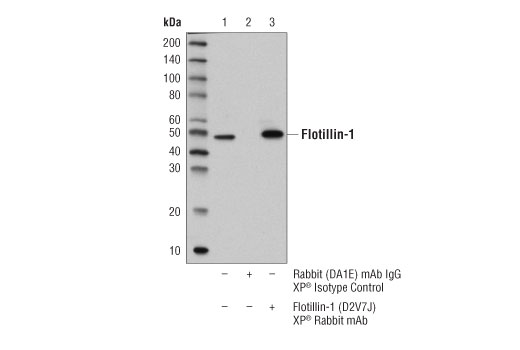 Immunoprecipitation of flotillin-1 protein from BT-20 cell extracts. Lane 1 is 10% input, lane 2 is Rabbit (DA1E) mAb IgG XP<sup>®</sup> Isotype Control #3900, and lane 3 is Flotillin-1 (D2V7J) XP<sup>®</sup> Rabbit mAb. Western blot analysis was performed using Flotillin-1 (D2V7J) XP<sup>®</sup> Rabbit mAb.