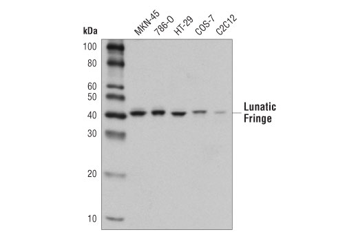 Western blot analysis of extracts from various cell lines using Lunatic Fringe (D6V2V) Rabbit mAb.
