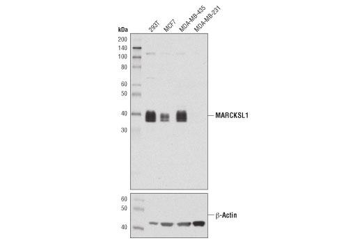 Monoclonal Antibody - MARCKSL1 (D4I9P) Rabbit mAb - Western Blotting, UniProt ID P49006, Entrez ID 65108 #59568, Cytoskeletal Signaling