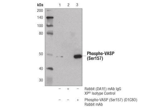Monoclonal Antibody Immunoprecipitation VASP - count 2