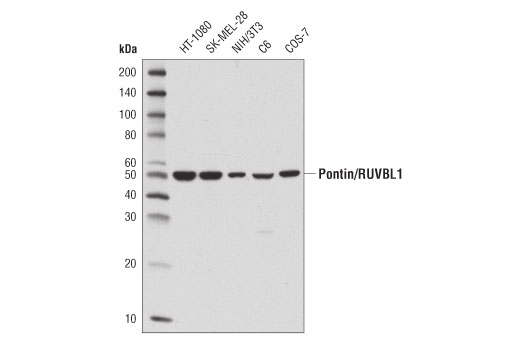 Western blot analysis of extracts from various cell lines using Pontin/RUVBL1 (D1L8J) XP<sup>®</sup> Rabbit mAb.