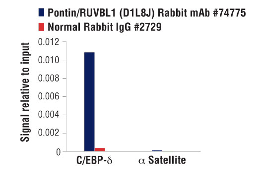 Chromatin IP - Pontin/RUVBL1 (D1L8J) XP® Rabbit mAb