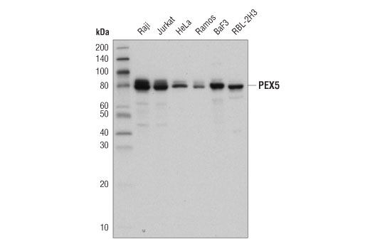Monoclonal Antibody Western Blotting Protein Targeting to Peroxisome
