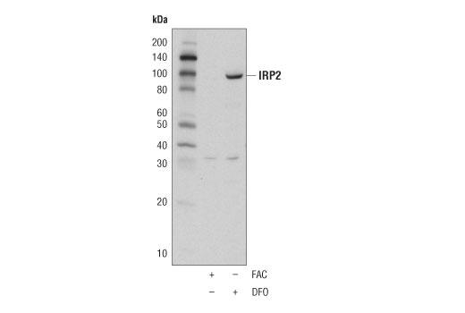 Monoclonal Antibody Iron Ion Homeostasis