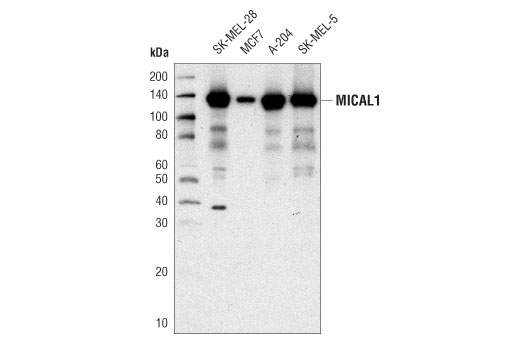 Western blot analysis of extracts from various cell lines using MICAL1 (D8K7R) Rabbit mAb.