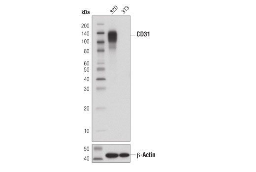 Western blot analysis of extracts from 32D (CD31/PECAM-1 positive) and 3T3 (CD31/PECAM-1 negative) cells using CD31 (PECAM-1) (D8V9E) XP<sup>®</sup> Rabbit mAb (upper) and β-Actin (D6A8) Rabbit mAb #8457 (lower).