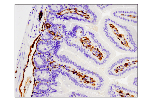 Immunohistochemical analysis of paraffin-embedded mouse small intestine using CD31 (PECAM-1) (D8V9E) XP® Rabbit mAb performed on the Leica® BOND™ Rx.