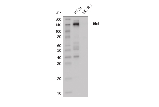 Western blot analysis of extracts from HT-29 and SK-BR-3 cells using Met (D1C2) XP<sup>®</sup> Rabbit mAb (HRP Conjugate)