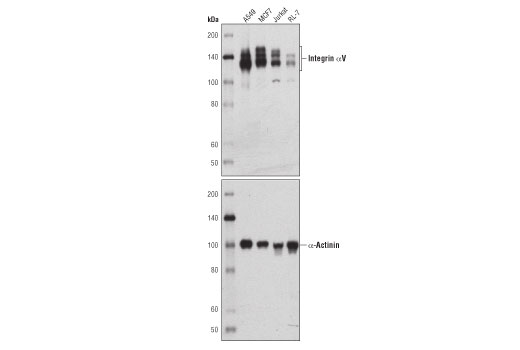 Western blot analysis of extracts from various cell lines using Integrin αV (D2N5H) Rabbit mAb (upper) or α-Actinin (D6F6) XP<sup>®</sup> Rabbit mAb #6487 (lower).