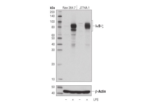 Polyclonal Antibody - IκB-ζ Antibody (Mouse Specific) - Western Blotting, UniProt ID Q9EST8, Entrez ID 80859 #93726 - #93726