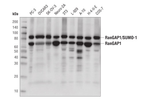 Monoclonal Antibody - RanGAP1 (D2T7T) Rabbit mAb - Immunoprecipitation, Western Blotting, UniProt ID P46060, Entrez ID 5905 #36067 - Ubiquitin and Ubiquitin-Like Proteins