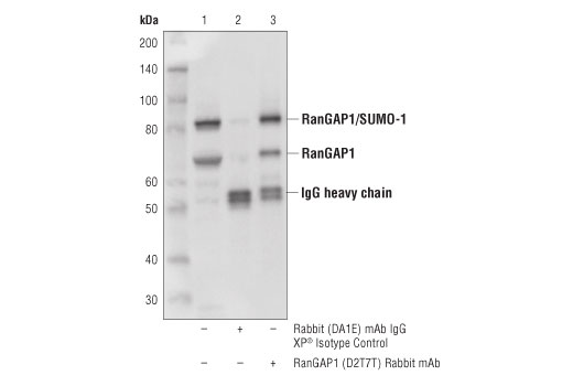 Immunoprecipitation of RanGAP1 from 293T cell extracts. Lane 1 is 10% input, lane 2 is Rabbit (DA1E) mAb IgG XP<sup>®</sup> Isotype Control #3900, and lane 3 is RanGAP1 (D2T7T) Rabbit mAb. Western blot analysis was performed using RanGAP1 (D2T7T) Rabbit mAb.