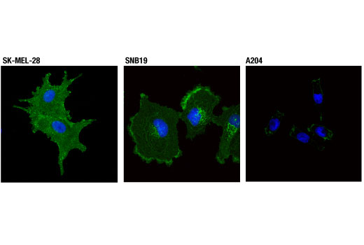 Immunofluorescence Image 1: Na,K-ATPase α1 (D4Y7E) Rabbit mAb