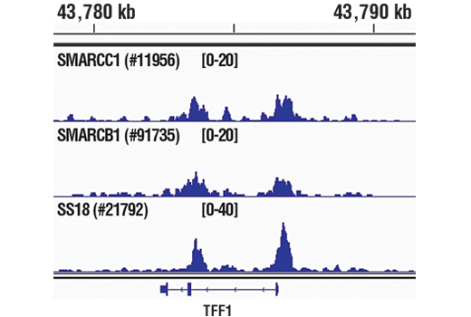 Chromatin immunoprecipitations were performed with cross-linked chromatin from MCF7 cells grown in phenol red free medium and 5% charcoal stripped FBS for 4 d, followed by treatment with β-estradiol (10 nM, 45 min) and either SMARCC1/BAF155 (D7F8S) Rabbit mAb #11956, SMARCB1/BAF47 (D8M1X) Rabbit mAb #91735, or SS18 (D6I4Z) Rabbit mAb, using SimpleChIP<sup>®</sup> Plus Enzymatic Chromatin IP Kit (Magnetic Beads) #9005. DNA Libraries were prepared using SimpleChIP<sup>®</sup> ChIP-seq DNA Library Prep Kit for Illumina<sup>®</sup> #56795. SMARCC1/BAF155, SMARCB1/BAF47, and SS18 are all subunits of SWI/SNF complex. The figure shows binding across pS2/TFF1, a known target gene of SWI/SNF complex (see additional figure containing ChIP-qPCR data). For additional ChIP-seq tracks, please download the product data sheet.