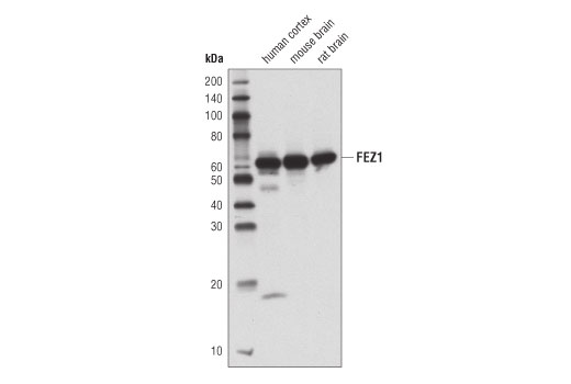 Western blot analysis of extracts from various cell lines using FEZ1 (D9R8Q) Rabbit mAb.