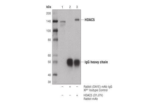 Immunoprecipitation of HDAC5 from 293T cell extracts. Lane 1 is 10% input, lane 2 is Rabbit (DA1E) mAb IgG XP<sup>®</sup> Isotype Control #3900, and lane 3 is HDAC5 (D1J7V) Rabbit mAb. Western blot analysis was performed using HDAC5 (D1J7V) Rabbit mAb.