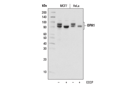 Western blot analysis of extracts from MCF7 or HeLa cells, untreated (-) or treated with carbonyl cyanide 3-chlorophenylhydrazone (CCCP; +) using OPA1 (D7C1A) Rabbit mAb.