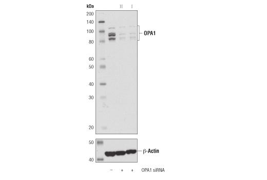 Monoclonal Antibody Western Blotting OPA1