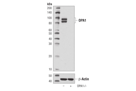 Western blot analysis of extracts of MEFs from wild-type (-) and OPA knockout (OPA-/-; +) mice using OPA1 (D6U6N) Rabbit mAb (upper) or β-Actin (D6A8) Rabbit mAb #8457 (lower).