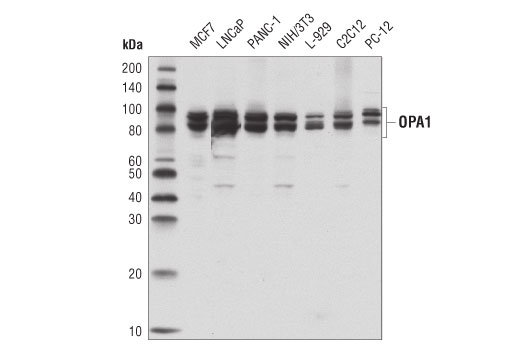 Western blot analysis of extracts from various cell lines using OPA1 (D6U6N) Rabbit mAb.