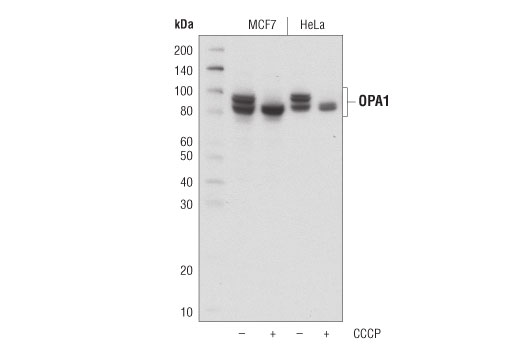 Western blot analysis of extracts from MCF7 and HeLa cells, untreated (-) or treated with carbonyl cyanide 3-chlorophenylhydrazone (CCCP; +) using OPA1 (D6U6N) Rabbit mAb.