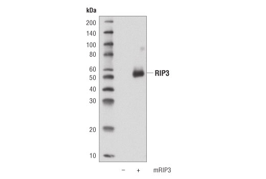 Monoclonal Antibody - RIP3 (D4G2A) Rabbit mAb, UniProt ID Q9QZL0, Entrez ID 56532 #95702, Antibodies to Kinases