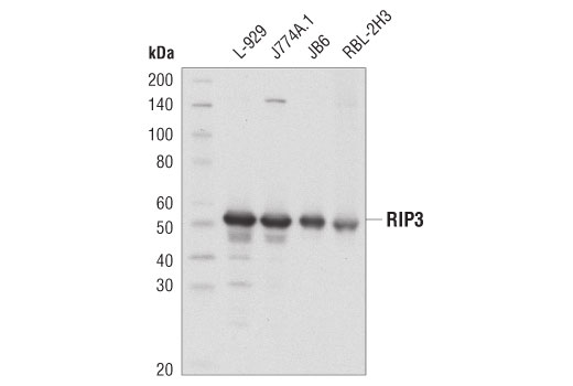 Western blot analysis of extracts from various cell lines using RIP3 (D8J3L) Rabbit mAb.