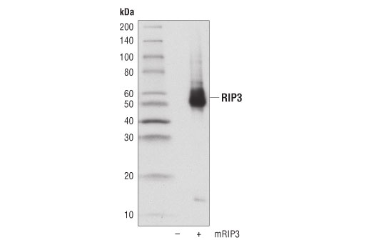 Western blot analysis of extracts from 293T cells, mock transfected (-) or transfected with a construct expressing full-length mouse RIP3 (mRIP3; +), using RIP3 (D8J3L) Rabbit mAb.