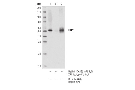 Rat Positive Regulation of Oxidoreductase Activity