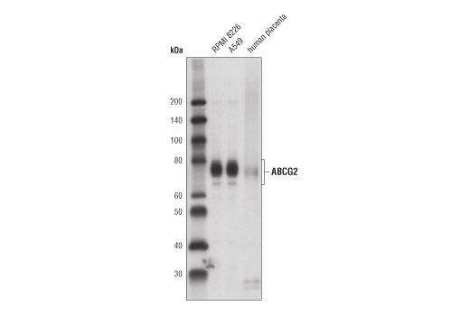 Western blot analysis of extracts from RPMI 8226 and A549 cells and human placenta using ABCG2 (D5V2K) XP<sup>®</sup> Rabbit mAb.