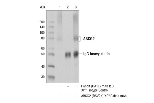 Immunoprecipitation Image 1: ABCG2 (D5V2K) XP® Rabbit mAb