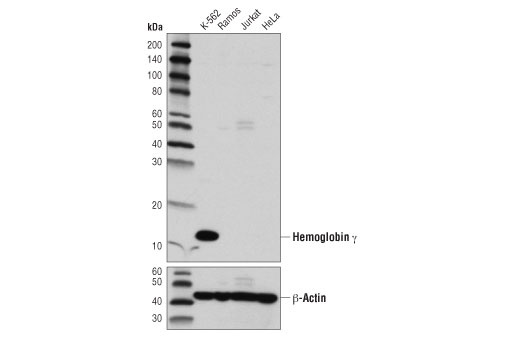 Western blot analysis of extracts from various cell lines using Hemoglobin γ (D4K7X) Rabbit mAb (upper) and β-Actin (D6A8) Rabbit mAb #8457 (lower).