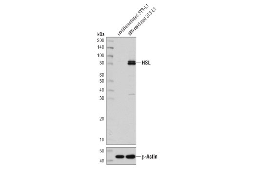 Western blot analysis of extracts from undifferentiated and differentiated 3T3-L1 cells using HSL (D6W5S) XP<sup>®</sup> Rabbit mAb (upper) and β-Actin (D6A8) Rabbit mAb #8457 (lower).