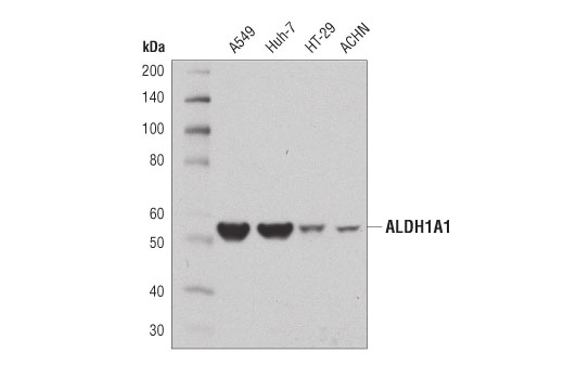 Western blot analysis of extracts from various cell lines using ALDH1A1 (D9J7R) XP<sup>® </sup>Rabbit mAb.