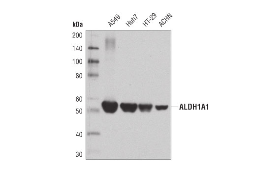 Western blot analysis of extracts from various cell lines using ALDH1A1 (D9Q8E) XP<sup>® </sup>Rabbit mAb.