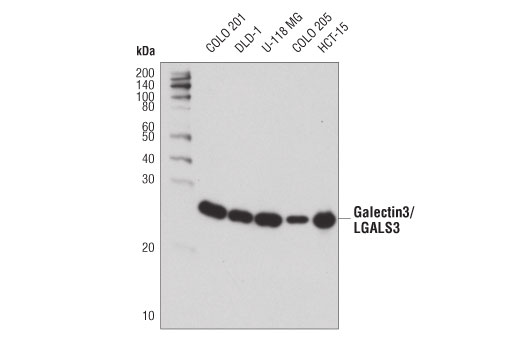 Western blot analysis of extracts from various cell lines using Galectin-3/LGALS3 (D4I2R) XP<sup>®</sup> Rabbit mAb.